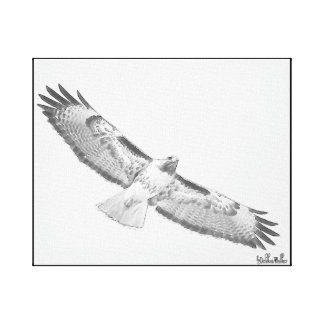 Custom Sketch Red-Tailed Hawk in Flight Canvas Print