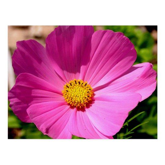 Customizable Cosmo Flower Postcard