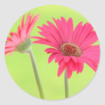 Customizable Pink Gerber Daisies on Green Classic Round Sticker
