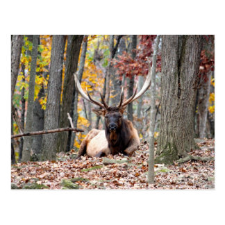 Customize Product Nice Photo of a Bull Elk resting Postcard