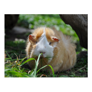 Cute, Abyssinian, Cream and White Guinea Pig Postcard