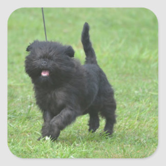Cute Affenpinscher Dog Square Stickers