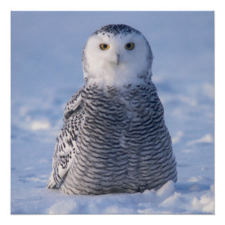 Cute Alaska Winter Snowy Owl Photo Designed Poster
