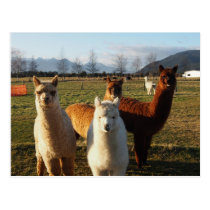 Cute Alpacas Postcard