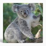 Cute Australian koala in gum tree binder
