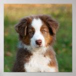 Cute Australian Shepherd puppy Poster