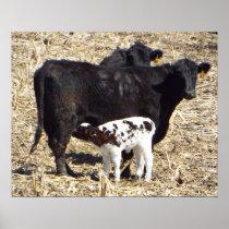Cute Baby Calf Nursing on Mama Cow Poster