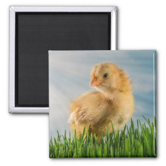 Cute Baby Chick in Grass with Sunbeam Photo Magnet