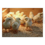 Cute Baby Chicks (lovely chick) Greeting Card