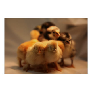 Cute Baby Chicks Poster