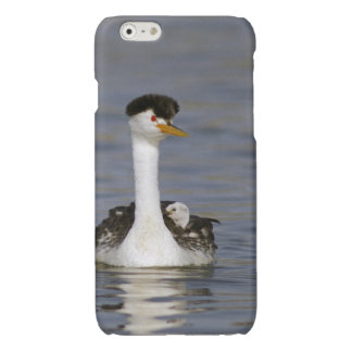 Cute Baby Clark's Grebe riding on Mom's back Glossy iPhone 6 Case