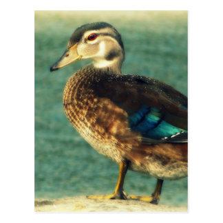 Cute Baby Duck Postcard