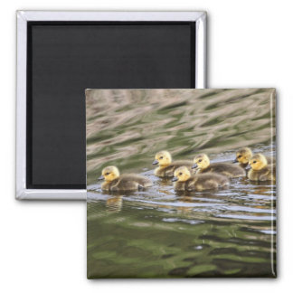 Cute Baby Geese Photo Magnets