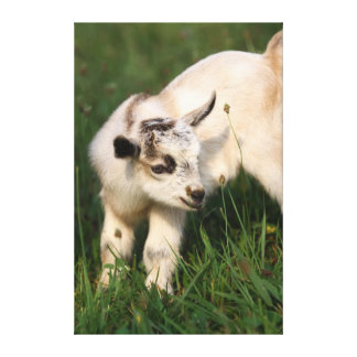 Cute Baby Goat Canvas Print