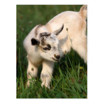 Cute Baby Goat Postcard