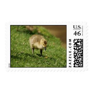 Cute Baby Goose looking at Baby Mushroom Postage