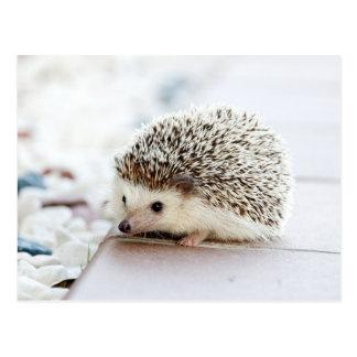 Cute Baby Hedgehog Postcard