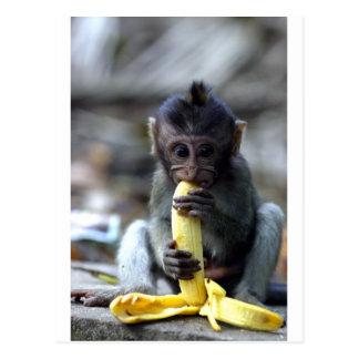 Cute baby macaque monkey eating banana post card