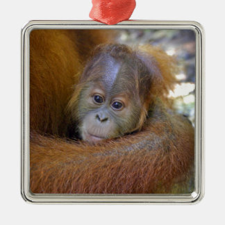 Cute baby orangutan in mothers arms christmas ornaments