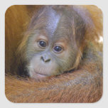 Cute baby orangutan in mothers arms square sticker