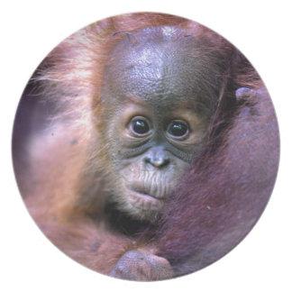 Cute baby orangutan in Sumatra Party Plates
