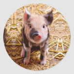 Cute Baby Piglet Farm Animals Babies Classic Round Sticker