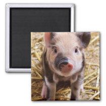 Cute Baby Piglet Farm Animals Barnyard Babies Magnet