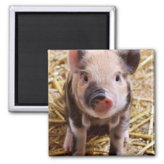 Cute Baby Piglet Farm Animals Barnyard Babies 2 Inch Square Magnet