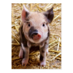 Cute Baby Piglet Farm Animals Barnyard Babies Postcard at Zazzle
