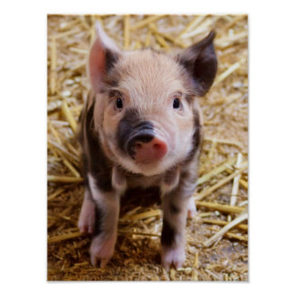 Cute Baby Piglet Farm Animals Barnyard Babies Poster