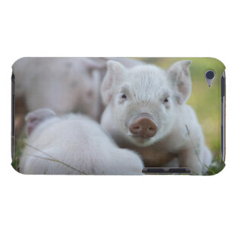 Cute Baby Pigs - A Sleepy White Piglet Barely There iPod Cases