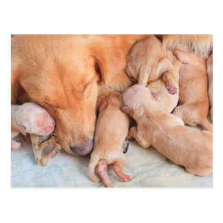 Cute Baby Puppies with Mother Postcard