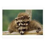 Cute Baby Raccoon Post Cards