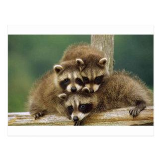 Cute Baby Raccoon Postcard