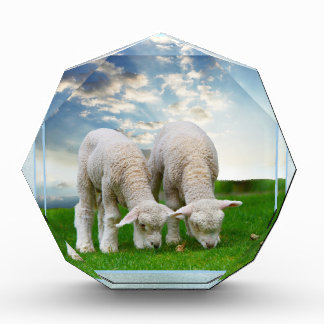 Cute Baby Sheep in a Field with Beautiful Puffy Cl Acrylic Award