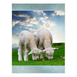 Cute Baby Sheep in a Field with Beautiful Puffy Cl Postcard