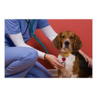 Cute Beagle Dog Getting a Veterinary Checkup Posters