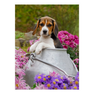 Cute Beagle Dog Puppy in a Milk Churn Photography Poster