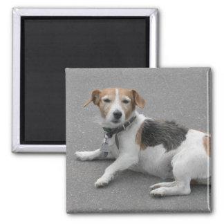 Cute Beagle Mongrel 2 Inch Square Magnet