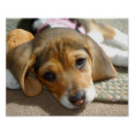 Cute Beagle Puppy Poster