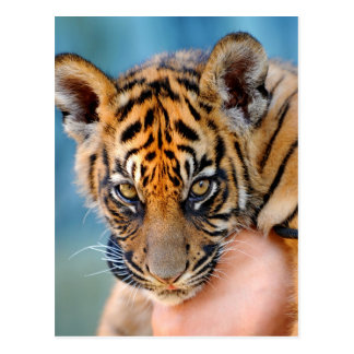 Cute Bengal Tiger Cub Postcard