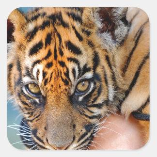 Cute Bengal Tiger Cub Square Sticker