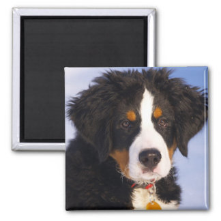 Cute Bernese Mountain Dog Puppy Picture 2 Inch Square Magnet