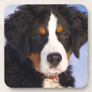 Cute Bernese Mountain Dog Puppy Picture Coaster
