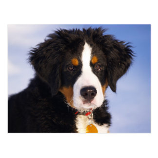 Cute Bernese Mountain Dog Puppy Picture Postcard