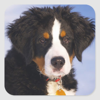 Cute Bernese Mountain Dog Puppy Picture Square Sticker