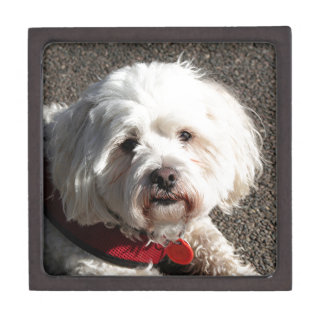 Cute bichon frise dog keepsake box
