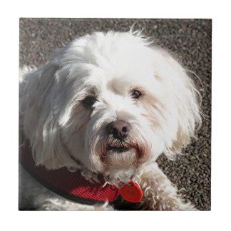 Cute bichon frise dog tile