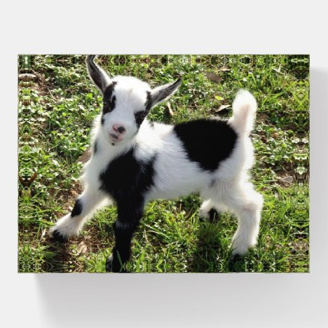 Cute Black and White Goat Kid Paperweight