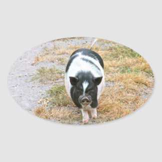 Cute Black and White Potbelly Pig Photo Oval Sticker